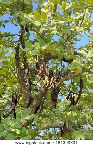 Leaves and pods of the carob tree in the park of Jerusalem