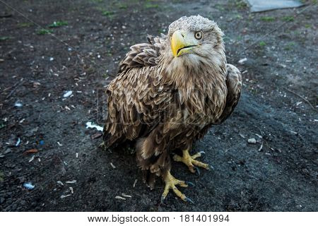Funny eagle sits on the ground and looks into the camera