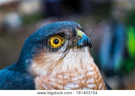 close-up Portrait of sparrow hawk with yellow eyes