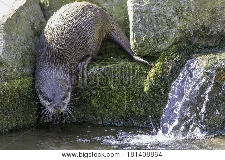 Riverside wildlife. Asian small clawed otter (Aonyx cinerea) by waterfall in stream. Approaching water looking at camera.