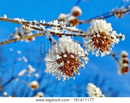 Snowflake from a flower. Frozen flower on a background of the blue sky. Wonders of nature. Beautiful snowflake. Subpolar Urals, Russia. Low DOF photography.
