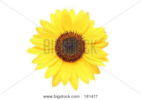 Sunflower Macro Over White