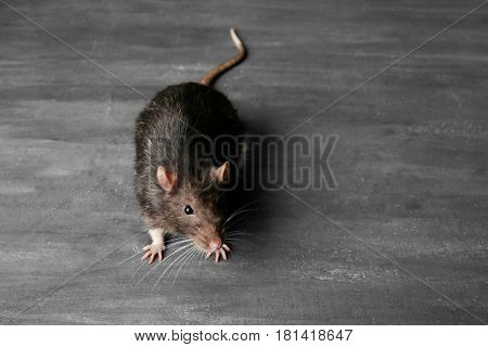 Cute funny rat on grey textured background