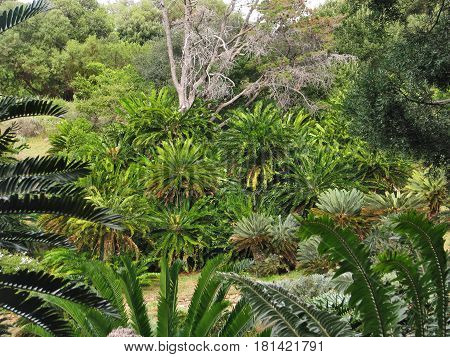CYCADS, FOUND IN KIRSTENBOSCH GARDENS, CAPE TOWN SOUTH AFRICA 18ffgr