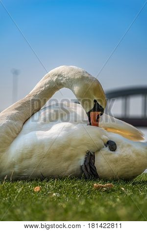 White swan cleaning and relaxing on the green grass of the riverbank