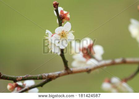 Plum Blossoms In Kairaku En, Mito, Japan