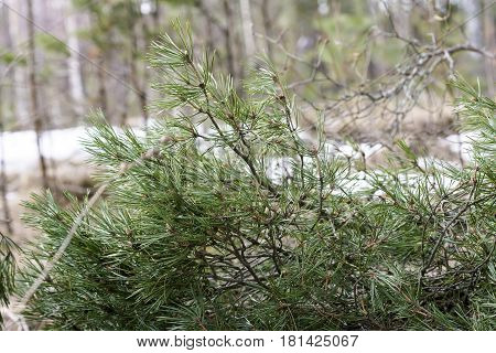Branch Of Pinus Sylvestris Closeup On Earth