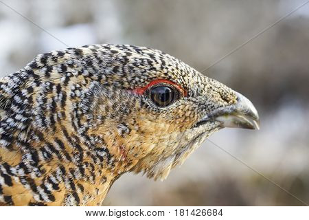 The Head Of A Grouse Close-up