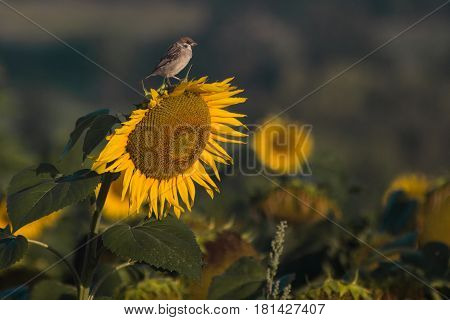 fields of sunflowers and small bird spring