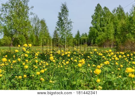 Beautiful natural background with thin long birch trees with green foliage and yellow wildflowers Trollius europaeus in a meadow in the spring