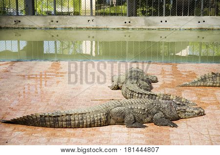 Crocodiles sleeping and resting in the park of Bueng Boraphet public park is the largest freshwater swamp and lake at Nakhon sawan Thailand