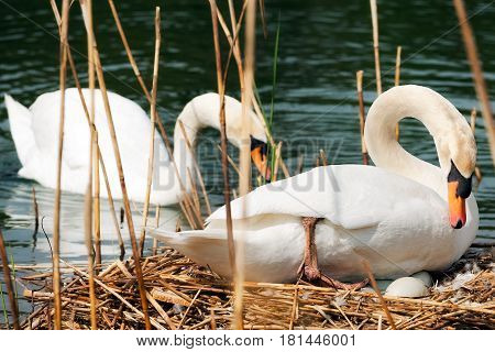 Pair of mute swans (Cygnus olor) one while swimming in the water one while hatching the eggs in the nest made of reeds