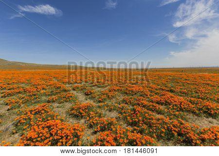 Poppy wildflower landscape near Lancaster California.