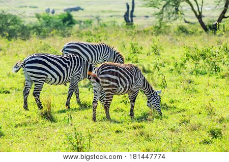Pack of zebras grazing in savanna with green grass background