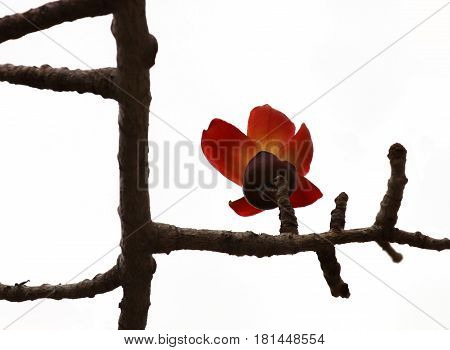 Bombax flower on branches without leaves (Lat.- Bombax Ceiba)