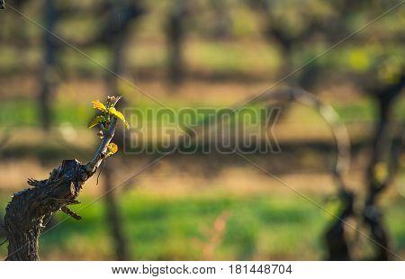 First spring leaves on a trellised vine growing in vineyard, Bordeaux, France