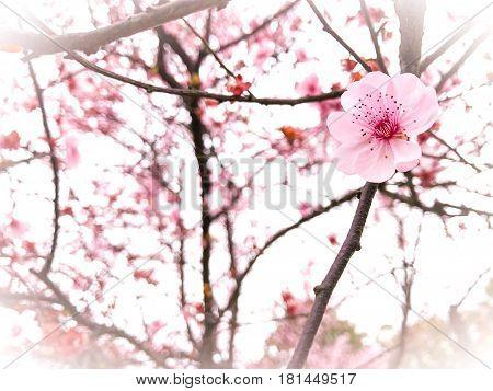 Springtime season beautiful pink cherry blossom background