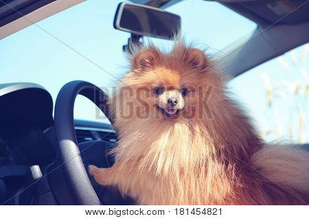 Pomeranian dog in a car. Beautiful and clever dog