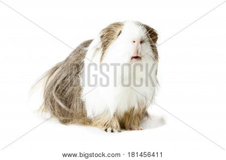 Longhair Guinea pig isolated on white background poster