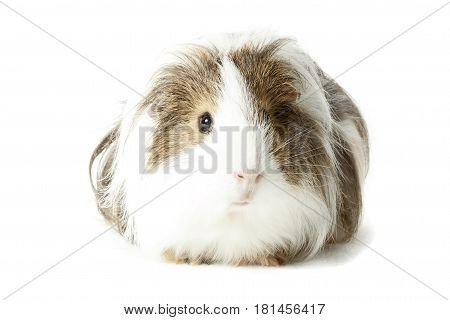 Longhair Guinea pig isolated on white background