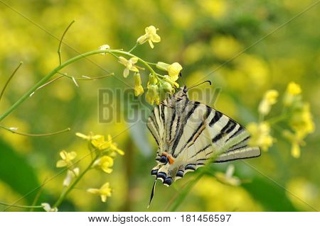 Iphiclides podalirius, Scarce swallowtail Butterfly feeding on yellow flower with a beautiful green background