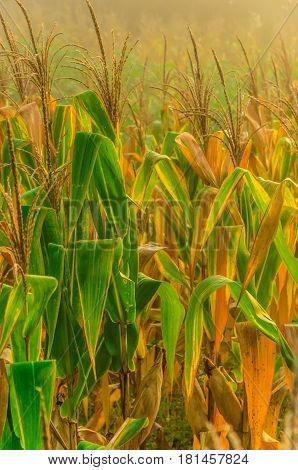 Detail of a cornfield in countryside of Brazil
