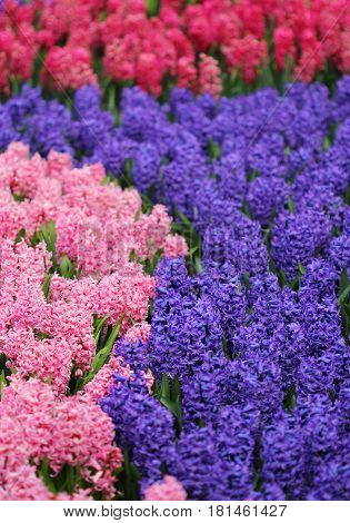 Big Amount Of The Bllue And Pink Hyacinths