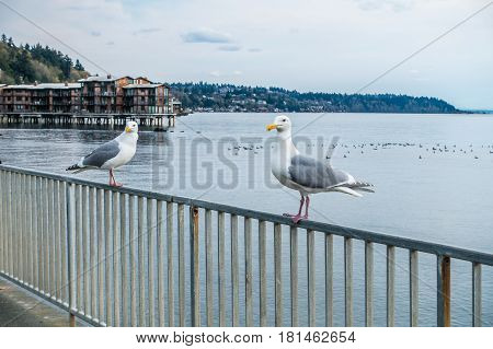 Two seagulls sits on a fence near shore in West Seattle Washington.