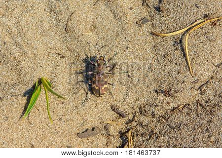 Dune tiger beetle Cicindela maritima on sand