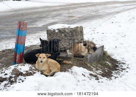 Group of stray dogs lying on the ground in winter