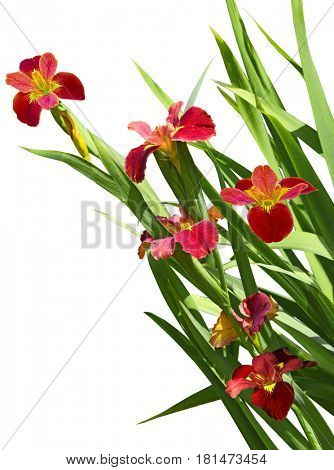 Red iris flower plant isolated on white background