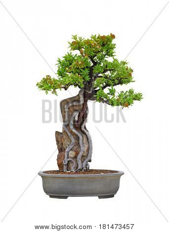 Pyracantha Angustifolia Narrowleaf Fire thorn Root over Rock Bonsai