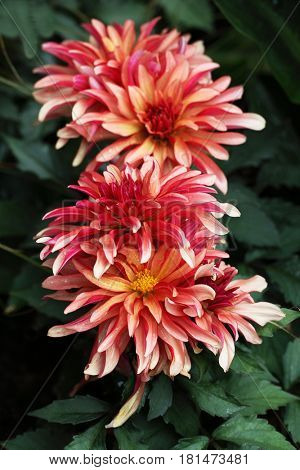 Narrow petal dahlia flowers