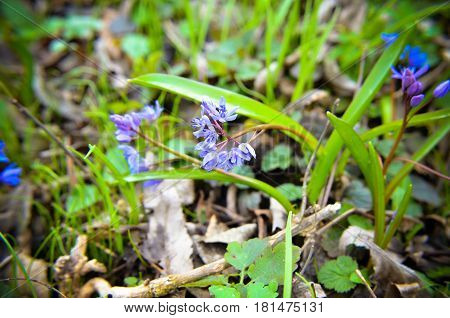 Flowers Of Wood Squill Scilla Siberica In Spring Forest