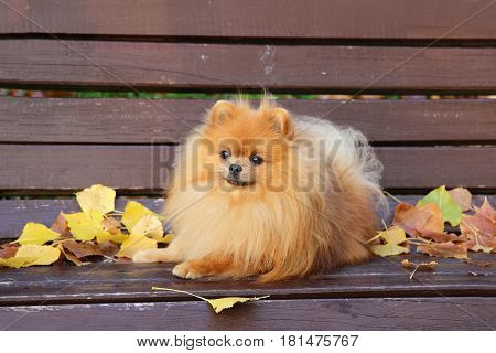 Pomeranian dog. Dog in autumn park. Dog on a bench. Serious pomeranian dog.