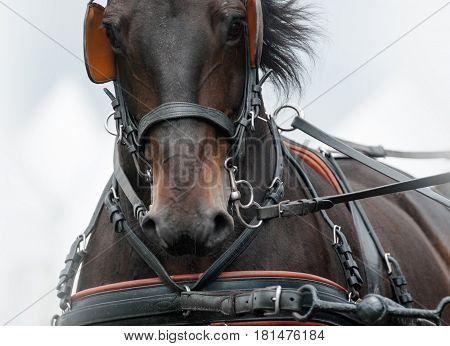 Horse in the carriage amunition close up