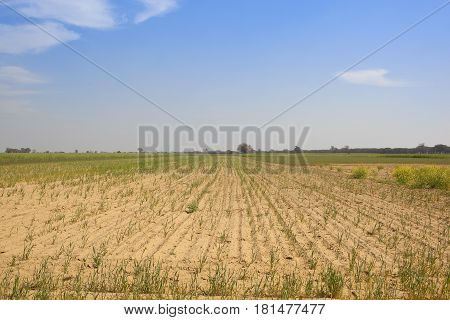 Young Crops In Rajasthan India