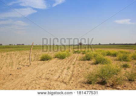 Sandy Farming Landscape In Rajasthan