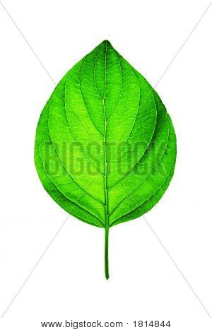 Fresh Green Leaf On White
