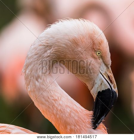 Portrait of a Chilean Flamingo itching the coloured feathers on its neck.
