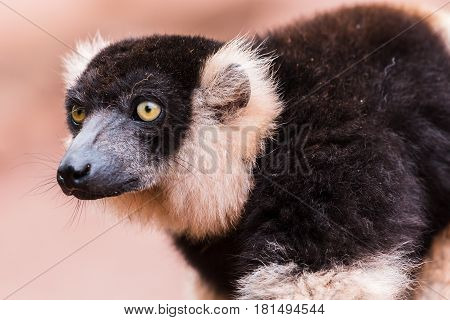 A Black and White Ruffed Lemur gazes into the distance.