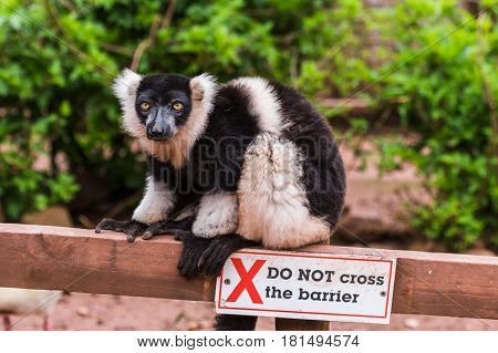 A Black and White Ruffed Lemur grasps hold of the wooden barrier
