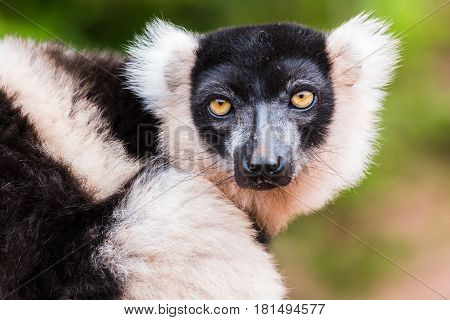 A Black and White Ruffed Lemur stares straight down my lens.