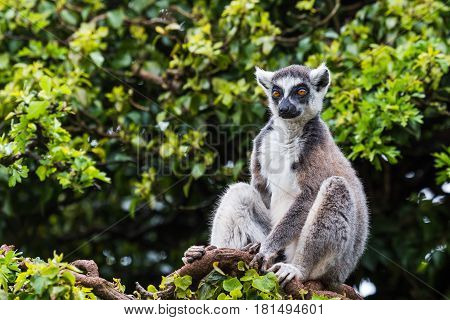 A Ring-tailed lemur high up on a tree soaking up the sun.