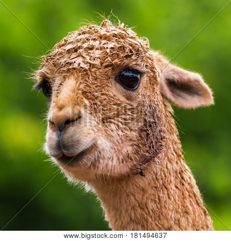 A wet looking Alpaca captured in front of a sea of green bokeh