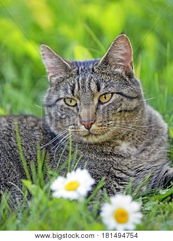 Tomcat brown tabby lying in grass by daisy flowers