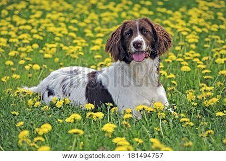 English Springer Spaniel resting in spring meadow of dandelion flowers
