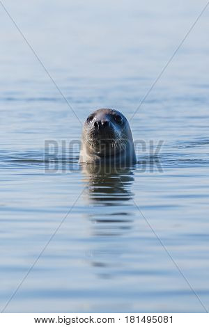 Grey seal popping its head out of the water off the North Norfolk coast. The Wash is home to both Common Seals as well as these Grey Seals & this seal was captured in a narrow channel of water off the coast of Blakeney home to a long spit of land which th