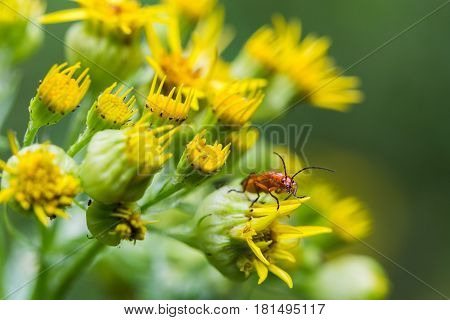 Common Red Soldier Beetle Facing The Camera
