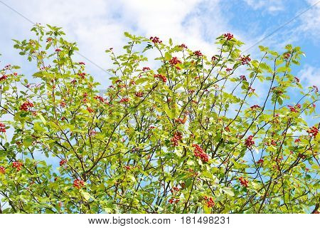 Berry of ripe red wild rowan on branches closeup.